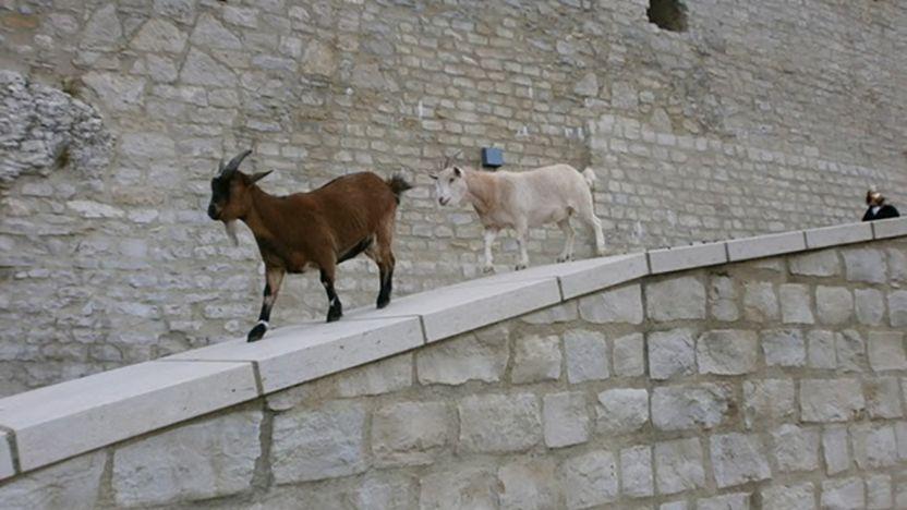 Festungsruine Hohenneuffen, Ziegen auf der Brüstung der Zufahrt